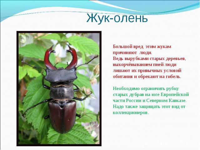 Жук-оленьБольшой вред этим жукам причиняют люди. Ведь вырубками старых деревьев, выкорчёвыванием пней люди лишают их привычных условий обитания и обрекают на гибель. Необходимо ограничить рубку старых дубрав на юге Европейской части России и Северно…