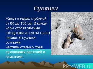 Суслики Живут в норах глубинойот 80 до 150 см. В конценоры строят уютные гнёздыш