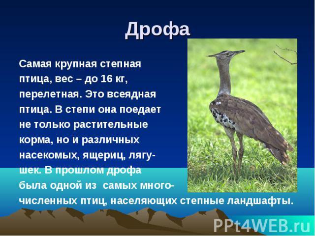 ДрофаСамая крупная степная птица, вес – до 16 кг,перелетная. Это всеяднаяптица. В степи она поедаетне только растительные корма, но и различныхнасекомых, ящериц, лягу-шек. В прошлом дрофабыла одной из самых много-численных птиц, населяющих степные л…