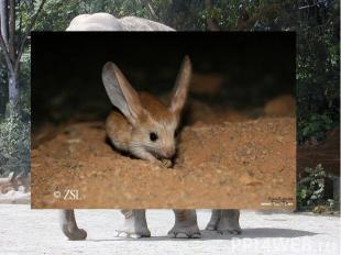 Какое животное имеет самые большие уши? Самые большие уши на Земле у африканског