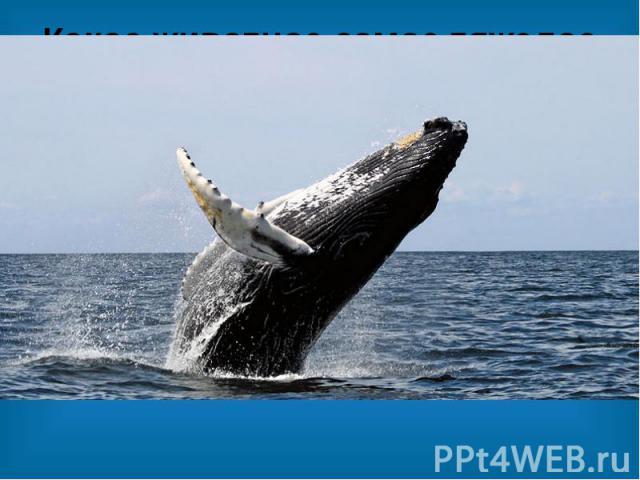 Какое животное самое тяжелое в мире? Самое тяжелое в мире животное — это синий кит. Его масса может составлять 200 тонн. Длина кита может достигать 33,5 метров. Это животное может передвигаться исключительно по воде. Когда-то кит был обычным сухопут…