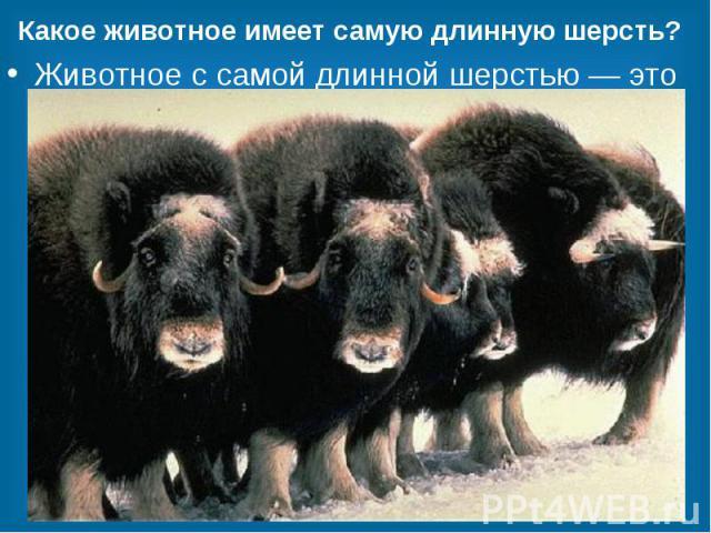 Какое животное имеет самую длинную шерсть? Животное с самой длинной шерстью — это мускусный бык, он же овцебык. Длина его шерсти достигает 90 сантиметров. У некоторых быков шерсть свисает почти до земли. Такой шубой бык наделен не просто так. Она по…
