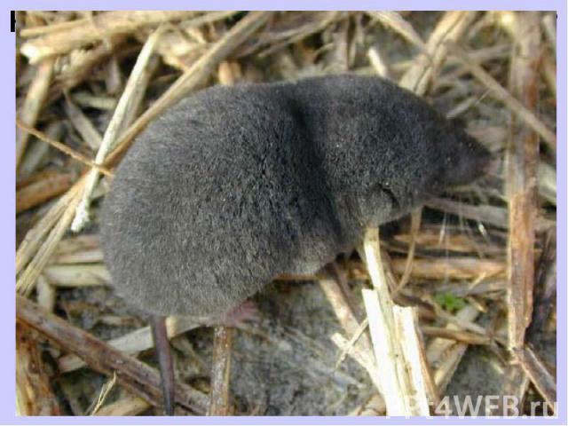 Какое животное самое маленькое? Самое маленькое животное на нашей планете — это землеройка. Ее вид — бурозубка-крошка весит 2 грамма, длина ее составляет 3-4 сантиметра. Среди землероек есть и крупные особи, поэтому не все землеройки являются самыми…