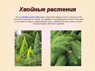 Хвойные растенияЛистья хвойных растений имеют чаще всего форму иголок, и большин