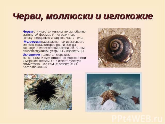 Черви, моллюски и иглокожиеЧерви отличаются мягким телом, обычно вытянутой формы. У них различают голову, переднюю и заднюю части тела. Моллюски называются так из-за своего мягкого тела, которое почти всегда защищено известковой раковиной. К ним отн…