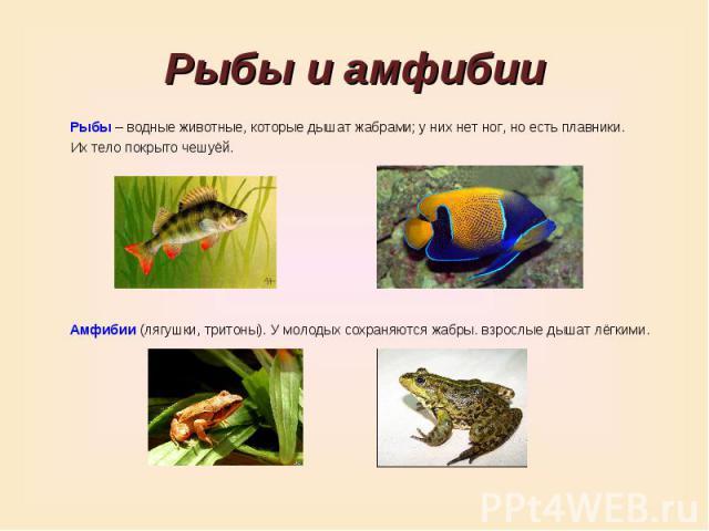 Рыбы и амфибииРыбы – водные животные, которые дышат жабрами; у них нет ног, но есть плавники. Их тело покрыто чешуёй.Амфибии (лягушки, тритоны). У молодых сохраняются жабры. взрослые дышат лёгкими.