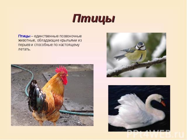 ПтицыПтицы – единственные позвоночные животные, обладающие крыльями из перьев и способные по настоящему летать.