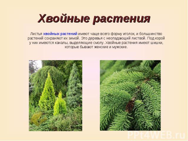 Хвойные растенияЛистья хвойных растений имеют чаще всего форму иголок, и большинство растений сохраняют их зимой. Это деревья с неопадающий листвой. Под корой у них имеются каналы, выделяющие смолу. Хвойные растения имеют шишки, которые бывают женск…