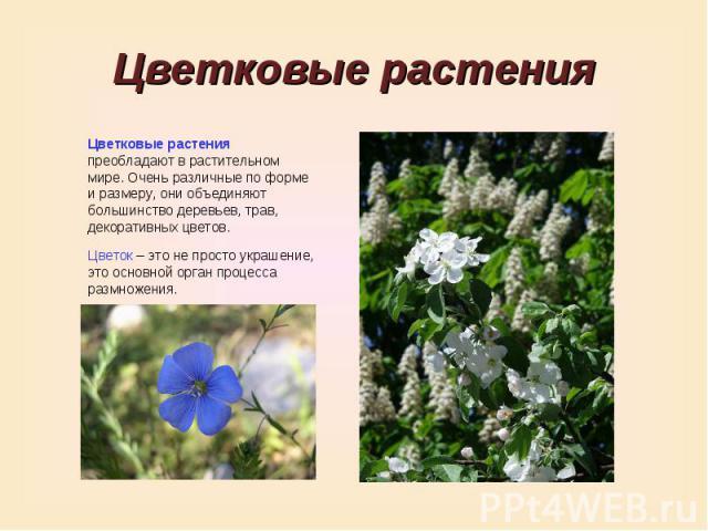Цветковые растенияЦветковые растения преобладают в растительном мире. Очень различные по форме и размеру, они объединяют большинство деревьев, трав, декоративных цветов.Цветок – это не просто украшение, это основной орган процесса размножения.