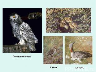 Полярная сова Кулик ГАГАРА