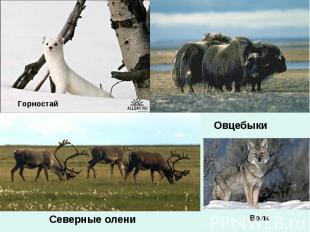 Горностай ОвцебыкиСеверные олениВолк