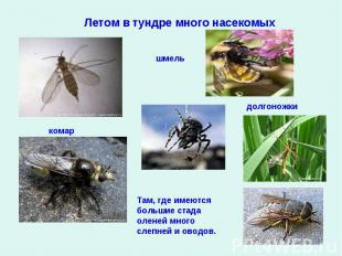 Летом в тундре много насекомыхТам, где имеются большие стада оленей много слепне
