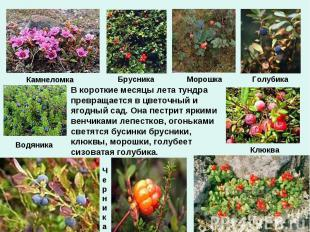 В короткие месяцы лета тундра превращается в цветочный и ягодный сад. Она пестри