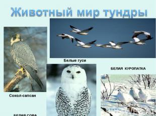 Животный мир тундры БЕЛАЯ СОВА Сокол-сапсанБелые гуси БЕЛАЯ КУРОПАТКА