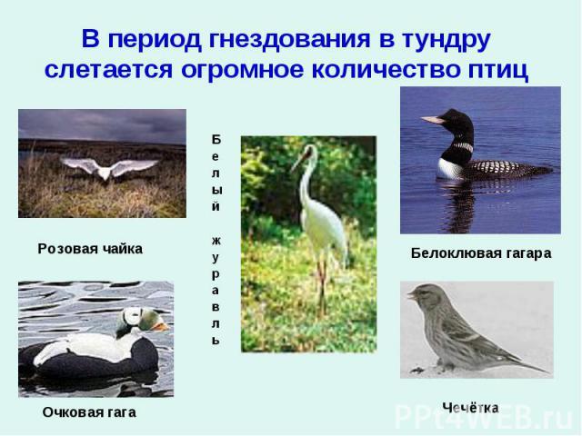 В период гнездования в тундру слетается огромное количество птицРозовая чайкаОчковая гагаБелоклювая гагараЧечётка