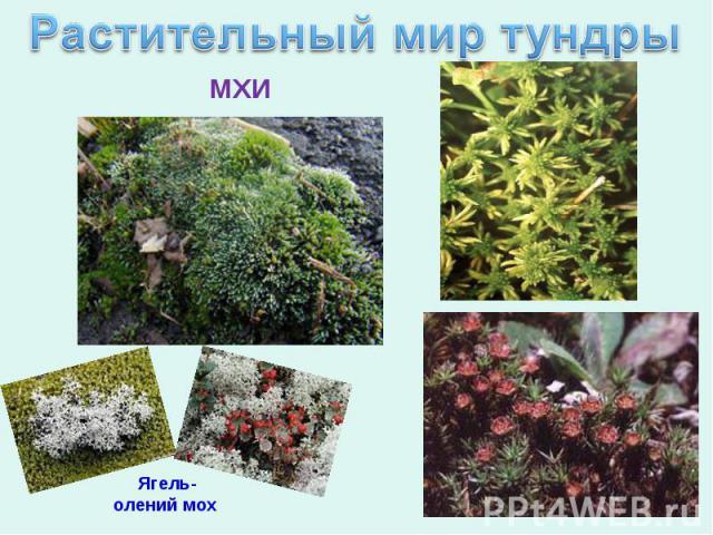Растительный мир тундры Ягель-олений мох