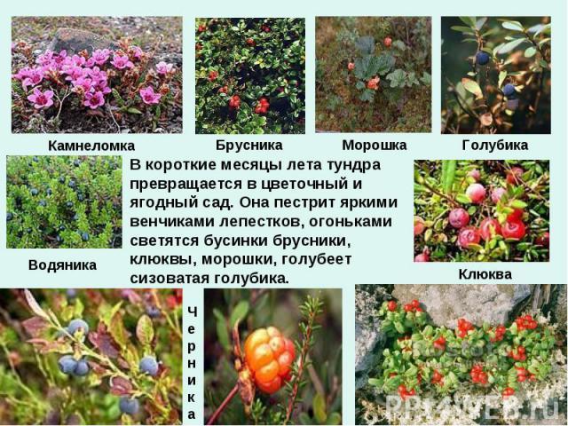 В короткие месяцы лета тундра превращается в цветочный и ягодный сад. Она пестрит яркими венчиками лепестков, огоньками светятся бусинки брусники, клюквы, морошки, голубеет сизоватая голубика.
