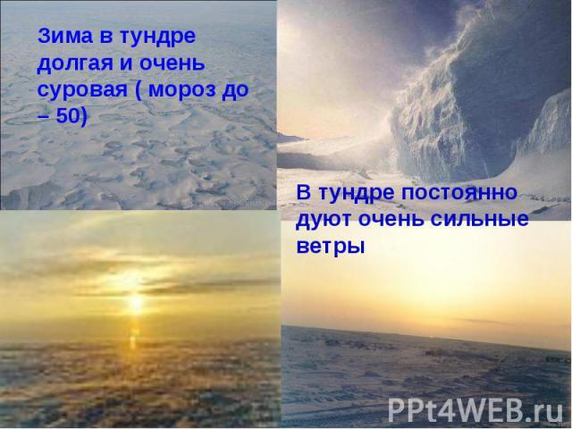 Зима в тундре долгая и очень суровая ( мороз до – 50)В тундре постоянно дуют очень сильные ветры