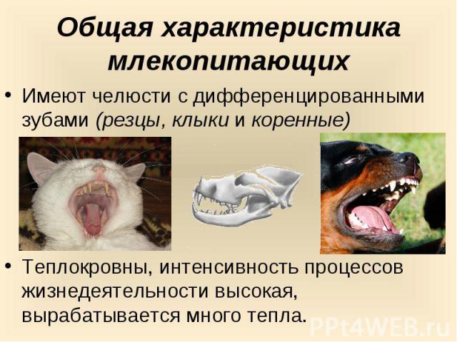 Общая характеристика млекопитающихИмеют челюсти с дифференцированными зубами (резцы, клыки и коренные)Теплокровны, интенсивность процессов жизнедеятельности высокая, вырабатывается много тепла.