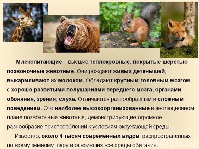 Млекопитающие – высшие теплокровные, покрытые шерстью позвоночные животные. Они рождают живых детенышей, выкармливают их молоком. Обладают крупным головным мозгом с хорошо развитыми полушариями переднего мозга, органами обоняния, зрения, слуха. Отли…