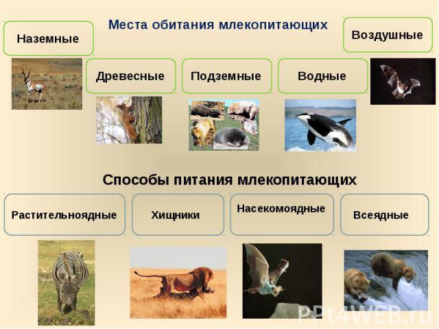 Места обитания млекопитающихСпособы питания млекопитающих