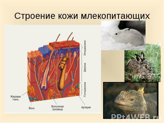 Строение кожи млекопитающих