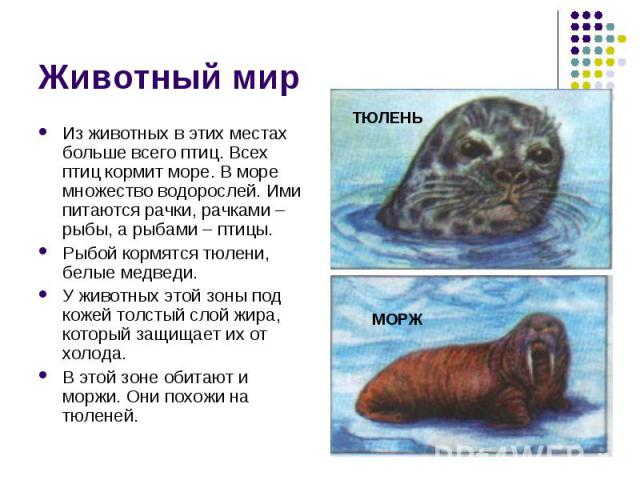 Животный мир Из животных в этих местах больше всего птиц. Всех птиц кормит море. В море множество водорослей. Ими питаются рачки, рачками – рыбы, а рыбами – птицы.Рыбой кормятся тюлени, белые медведи. У животных этой зоны под кожей толстый слой жира…