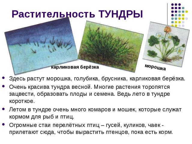 Растительность ТУНДРЫ Здесь растут морошка, голубика, брусника, карликовая берёзка. Очень красива тундра весной. Многие растения торопятся зацвести, образовать плоды и семена. Ведь лето в тундре короткое.Летом в тундре очень много комаров и мошек, к…
