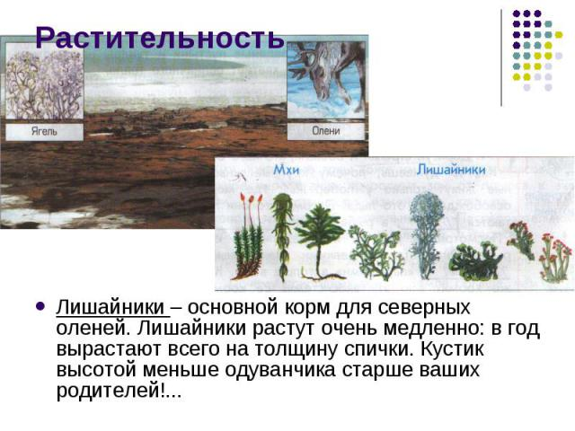Растительность Лишайники – основной корм для северных оленей. Лишайники растут очень медленно: в год вырастают всего на толщину спички. Кустик высотой меньше одуванчика старше ваших родителей!...