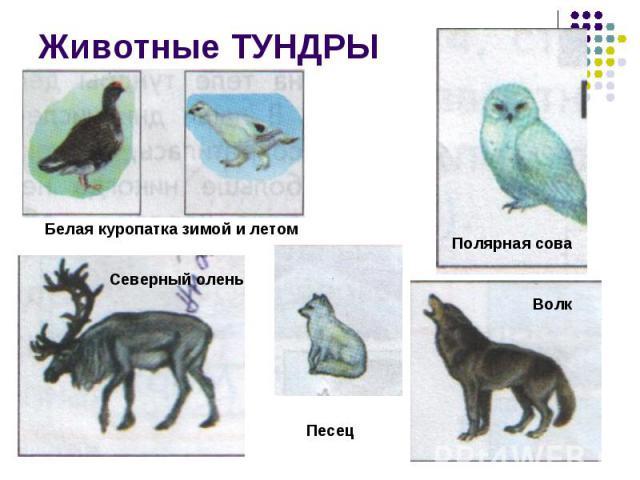 Животные ТУНДРЫ Белая куропатка зимой и летомСеверный оленьПолярная соваПесецВолк