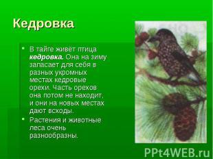 Кедровка В тайге живёт птица кедровка. Она на зиму запасает для себя в разных ук