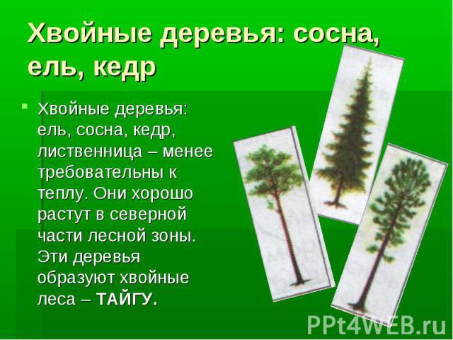 Хвойные деревья: сосна, ель, кедрХвойные деревья: ель, сосна, кедр, лиственница – менее требовательны к теплу. Они хорошо растут в северной части лесной зоны. Эти деревья образуют хвойные леса – ТАЙГУ.
