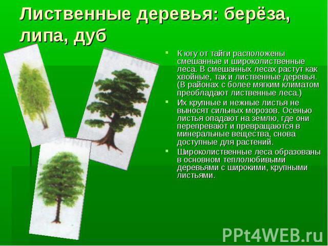Лиственные деревья: берёза, липа, дубК югу от тайги расположены смешанные и широколиственные леса. В смешанных лесах растут как хвойные, так и лиственные деревья.(В районах с более мягким климатом преобладают лиственные леса.)Их крупные и нежные лис…