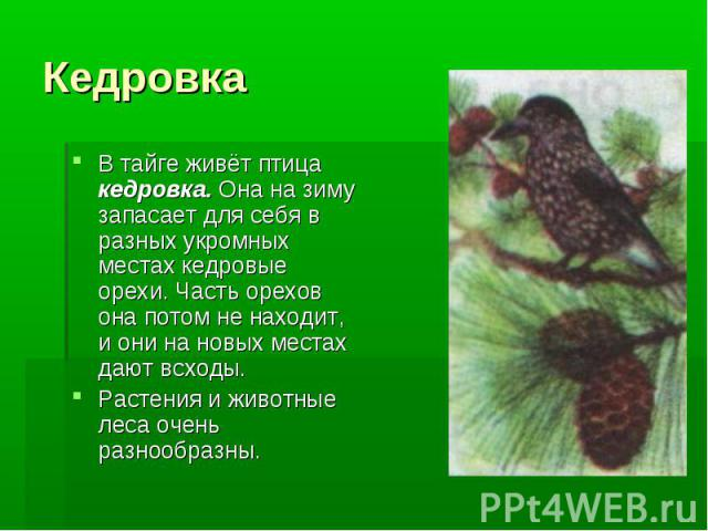 Кедровка В тайге живёт птица кедровка. Она на зиму запасает для себя в разных укромных местах кедровые орехи. Часть орехов она потом не находит, и они на новых местах дают всходы.Растения и животные леса очень разнообразны.