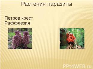 Растения паразитыПетров крест Раффлезия