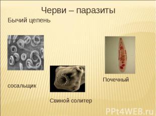 Черви – паразитыБычий цепень Почечный сосальщик Свиной солитер