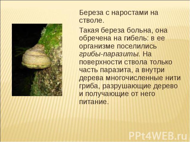 Береза с наростами на стволе.Такая береза больна, она обречена на гибель: в ее организме поселились грибы-паразиты. На поверхности ствола только часть паразита, а внутри дерева многочисленные нити гриба, разрушающие дерево и получающие от него питание.