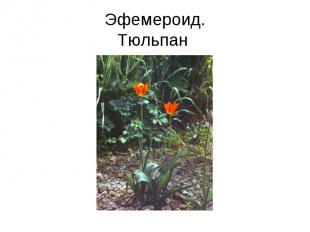 Эфемероид.Тюльпан