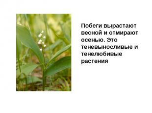 Побеги вырастают весной и отмирают осенью. Это теневыносливые и тенелюбивые раст