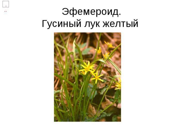 Эфемероид.Гусиный лук желтый