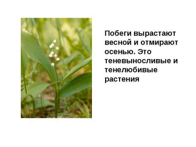 Побеги вырастают весной и отмирают осенью. Это теневыносливые и тенелюбивые растения