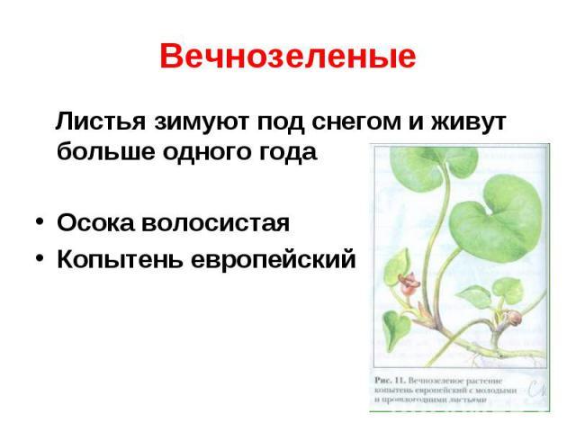 Вечнозеленые Листья зимуют под снегом и живут больше одного годаОсока волосистаяКопытень европейский