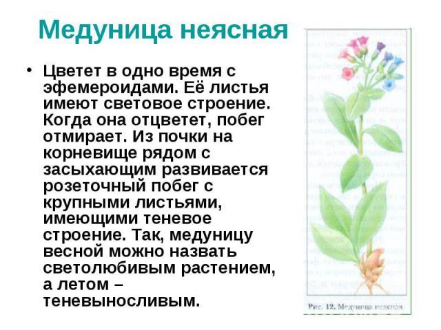 Медуница неяснаяЦветет в одно время с эфемероидами. Её листья имеют световое строение. Когда она отцветет, побег отмирает. Из почки на корневище рядом с засыхающим развивается розеточный побег с крупными листьями, имеющими теневое строение. Так, мед…