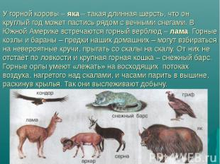 У горной коровы – яка – такая длинная шерсть, что он круглый год может пастись р