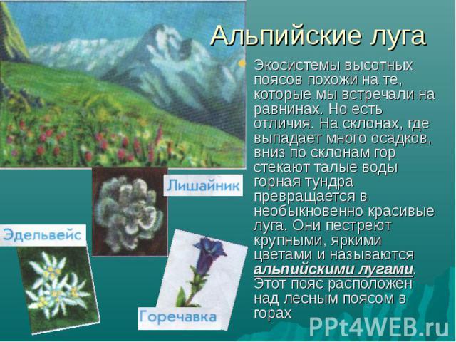 Альпийские луга Экосистемы высотных поясов похожи на те, которые мы встречали на равнинах. Но есть отличия. На склонах, где выпадает много осадков, вниз по склонам гор стекают талые воды горная тундра превращается в необыкновенно красивые луга. Они …
