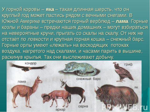 У горной коровы – яка – такая длинная шерсть, что он круглый год может пастись рядом с вечными снегами. В Южной Америке встречаются горный верблюд – лама. Горные козлы и бараны – предки наших домашних – могут взбираться на невероятные кручи, прыгать…