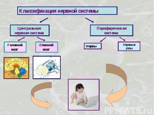 Классификация нервной системы Центральная нервная система Периферическая система