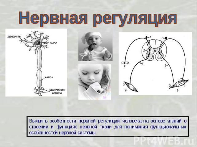 Нервная регуляция Выявить особенности нервной регуляции человека на основе знаний о строении и функциях нервной ткани для понимания функциональных особенностей нервной системы.