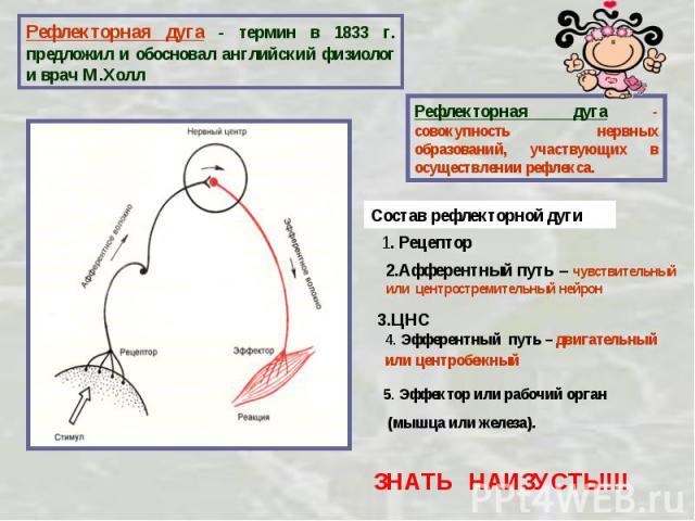 Рефлекторная дуга - термин в 1833 г. предложил и обосновал английский физиолог и врач М.Холл Рефлекторная дуга - совокупность нервных образований, участвующих в осуществлении рефлекса. Состав рефлекторной дуги1. Рецептор2.Афферентный путь – чувствит…