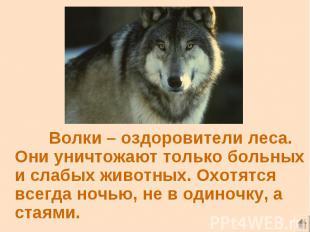 Волки – оздоровители леса. Они уничтожают только больных и слабых животных. Охот